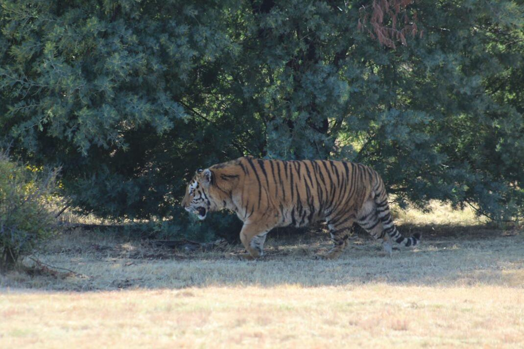 FOUR PAWS, an animal welfare organisation said two Siberian tigers have been relocated after one of them breached his enclosure at Seaview Predator Park in Gqeberha and killed an employee earlier this week.