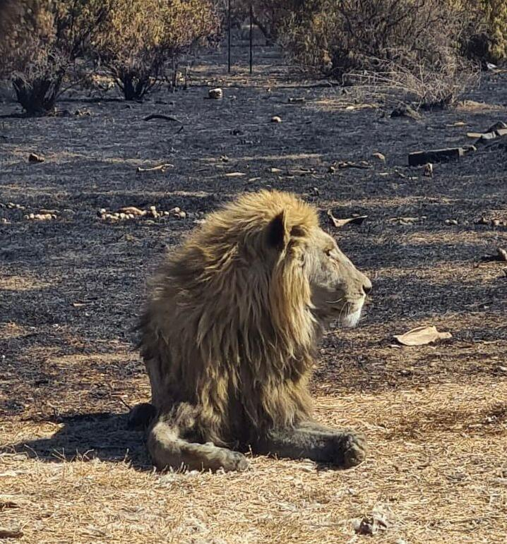 A thin lion next to a burnt veld